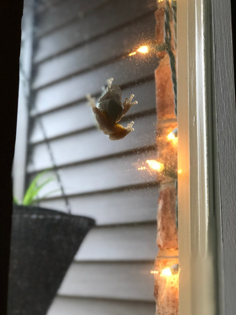 The Tree frog I noticed one morning attached to my front door window. I took this picture from inside.