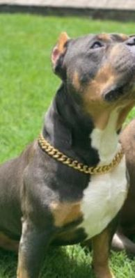 2 x Thick Gold Chain Pets Safety Collar - Adjustable Length photo review