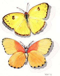 Framed Watercolour: Butterflies Yellow Pierids