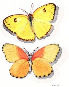 Framed Watercolour: Butterflies Yellow Pierids