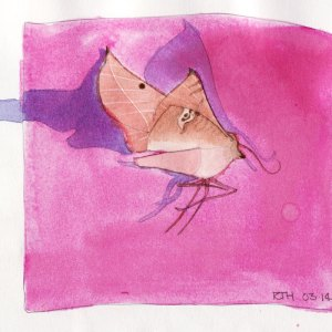 Watercolour Painting Drawing of Pink Australian Moth