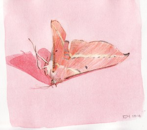 Drawing and Watercolour of Pink Australian Moth II