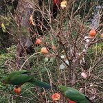 King Parrots on Pomegranates Victoria Australia