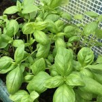 Homemade basil in a green trough ready for a homemade pasta sauce
