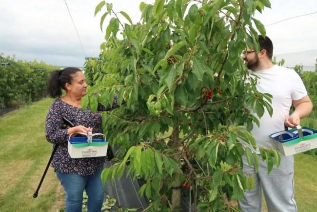 Fruit picking at Cammas Hall - Mum and Tom enjoying the fruit picking