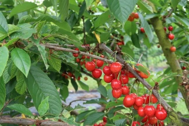 Fruit picking at Cammas Hall - Ripe cherries