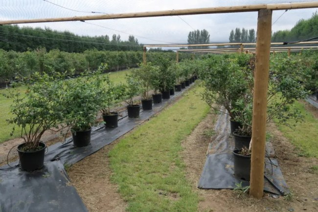 Fruit picking at Cammas Hall - The blueberries
