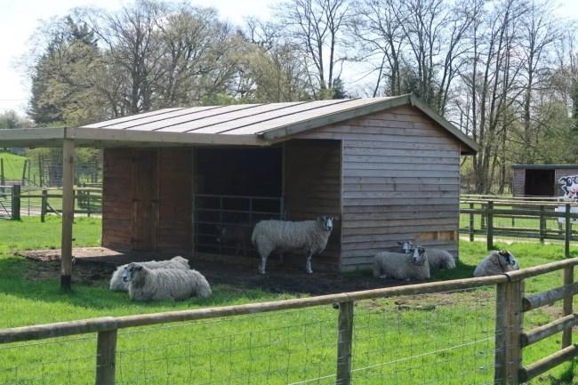 Sheep at Willow's Farm