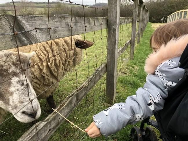 Lee Valley Park Farms - Feeding sheep