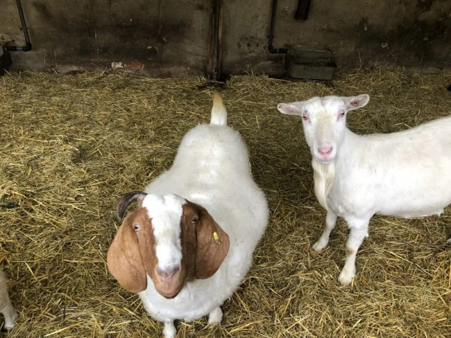 Lee Valley Park Farms - Goats