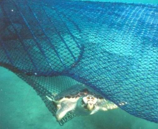 Sea turtle escaping TED Wikimedia CC