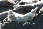 Harbor seal pup Photo: Katy Pye