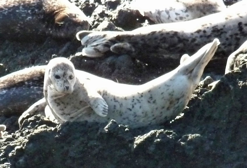 Harbor seal pup Photo: Katy Pye