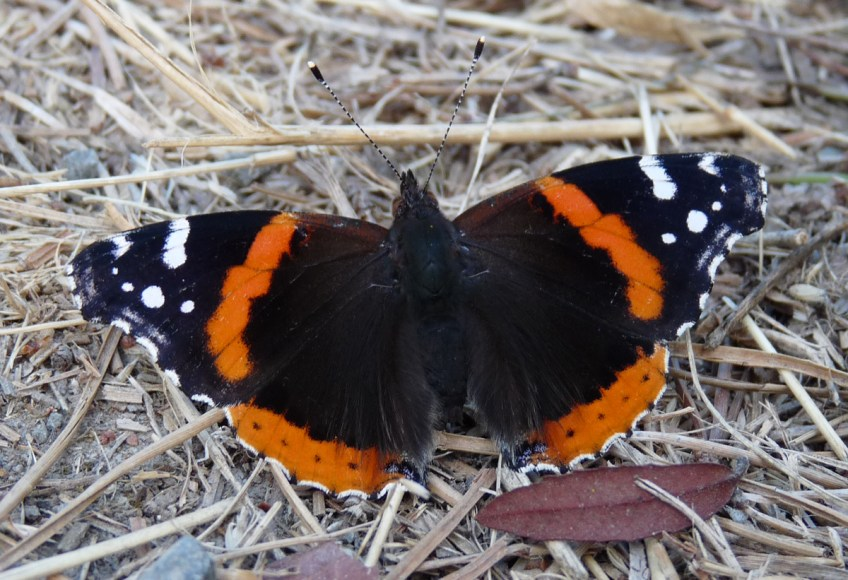 Red Admiral Photo: Katy Pye All rights reserved