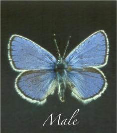 Lotis Blue photo: PG & E