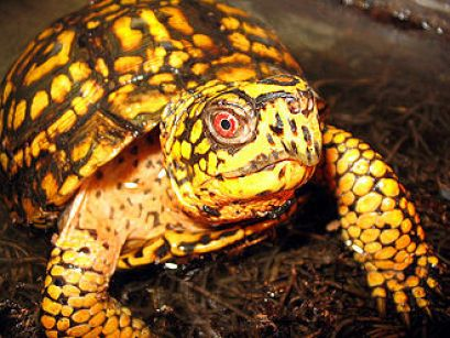 Terrapene carolina carolina-Eastern Box Turtle. Image: en wiki.org