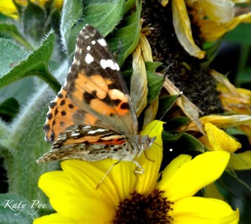 painted lady on sunflower 'Choco Sun'-Katy Pye