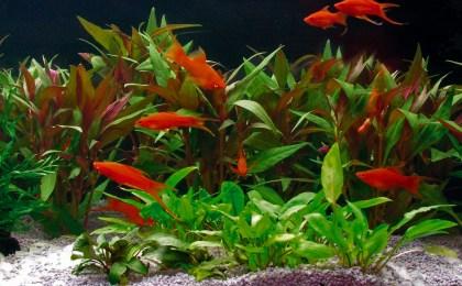 Aquariumfische im Aquarium