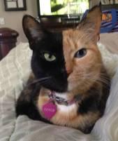 venus-chimera-cat-two-face-half-black-half-tabby-7