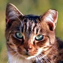 cat ear tip15