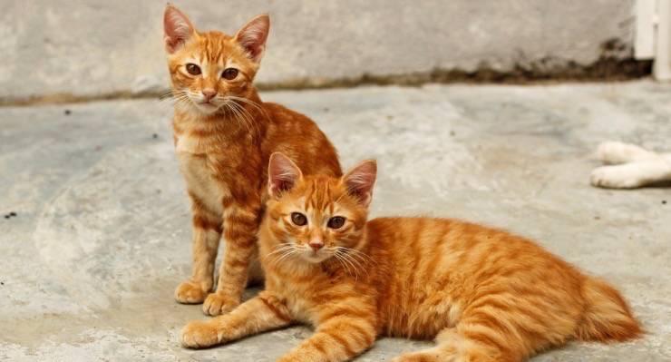 ginger cat pinterest