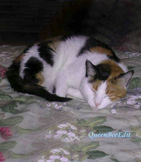 Scheherazade Cat Asleep on Our Bed in Kuwait - Stephanie C. Fox Photograph - QueenBeeEdit Watermark