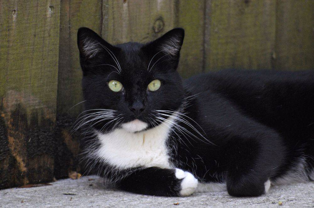 Black-and-White-Cat