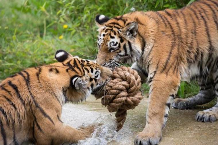 Woburn's Big Cats & Tiger Cubs Enjoy Purr-fect Day of ...