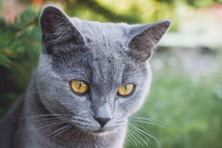 Are British Blue Cats Hypoallergenic
