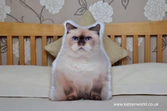 asc-1024-british-shorthair-cat