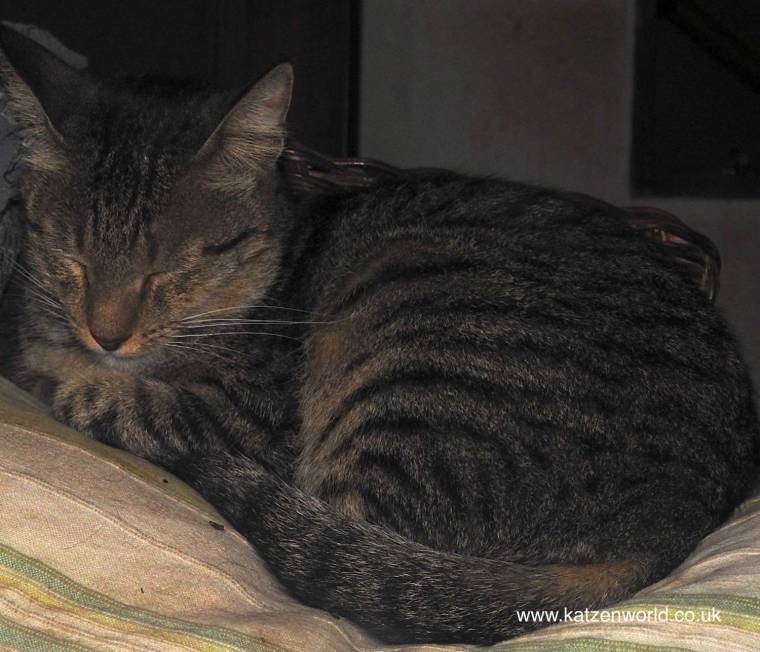 grey-tabby-biscuit