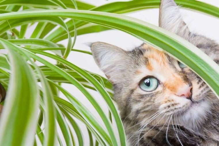 cat-spider-plant