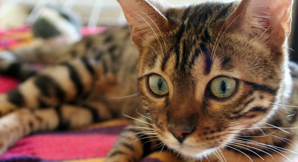 11 Cat Breeds That Love Water Who Knew Katzenworld