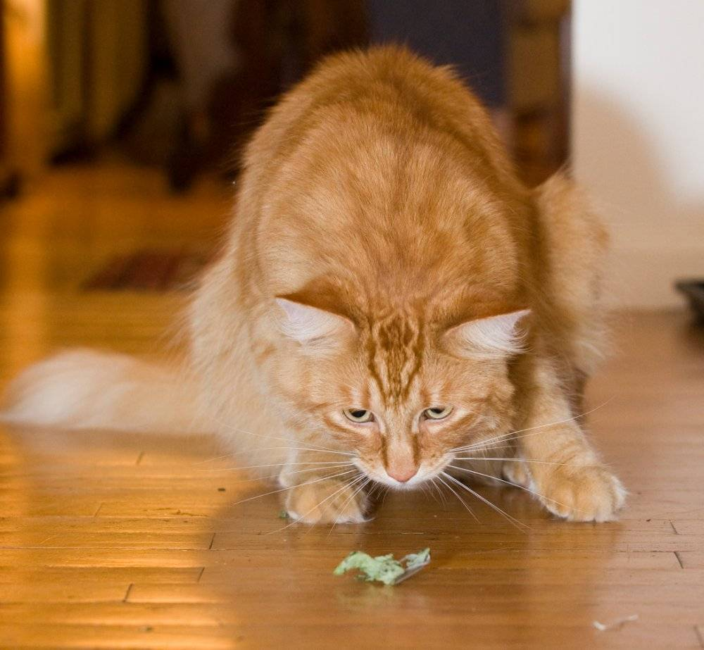 Catnip – everything you need to know
