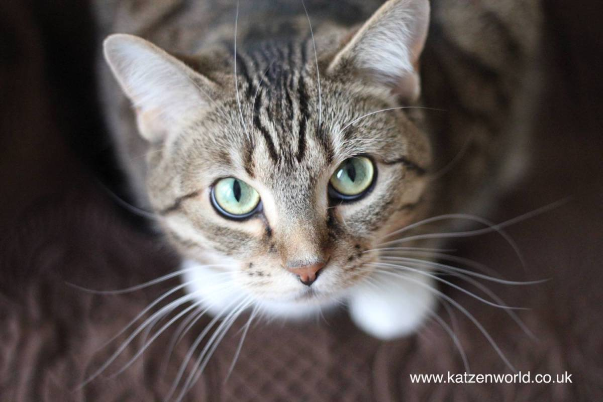 Excessive meowing in cats: what does it mean?
