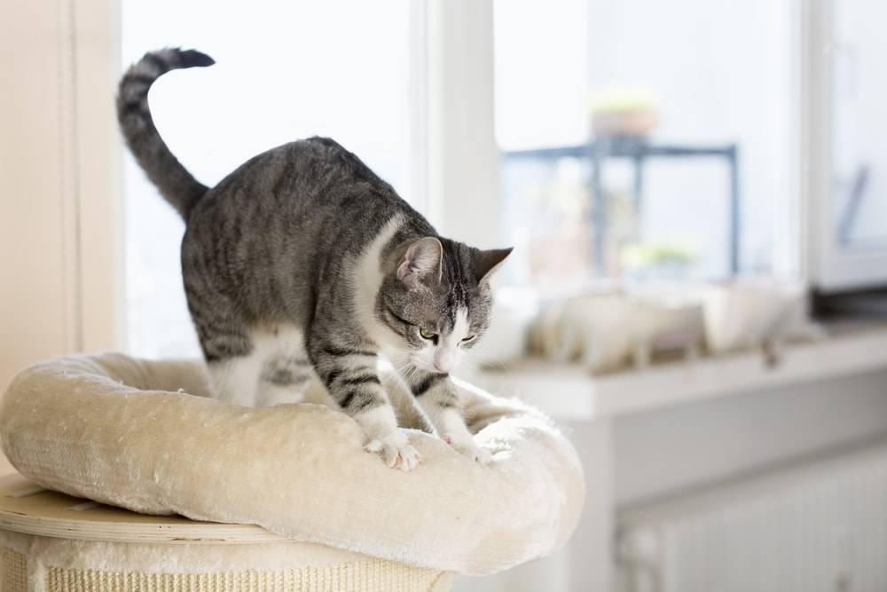 Why do Cats Knead? 7 Interesting Reasons You Should Aware Of