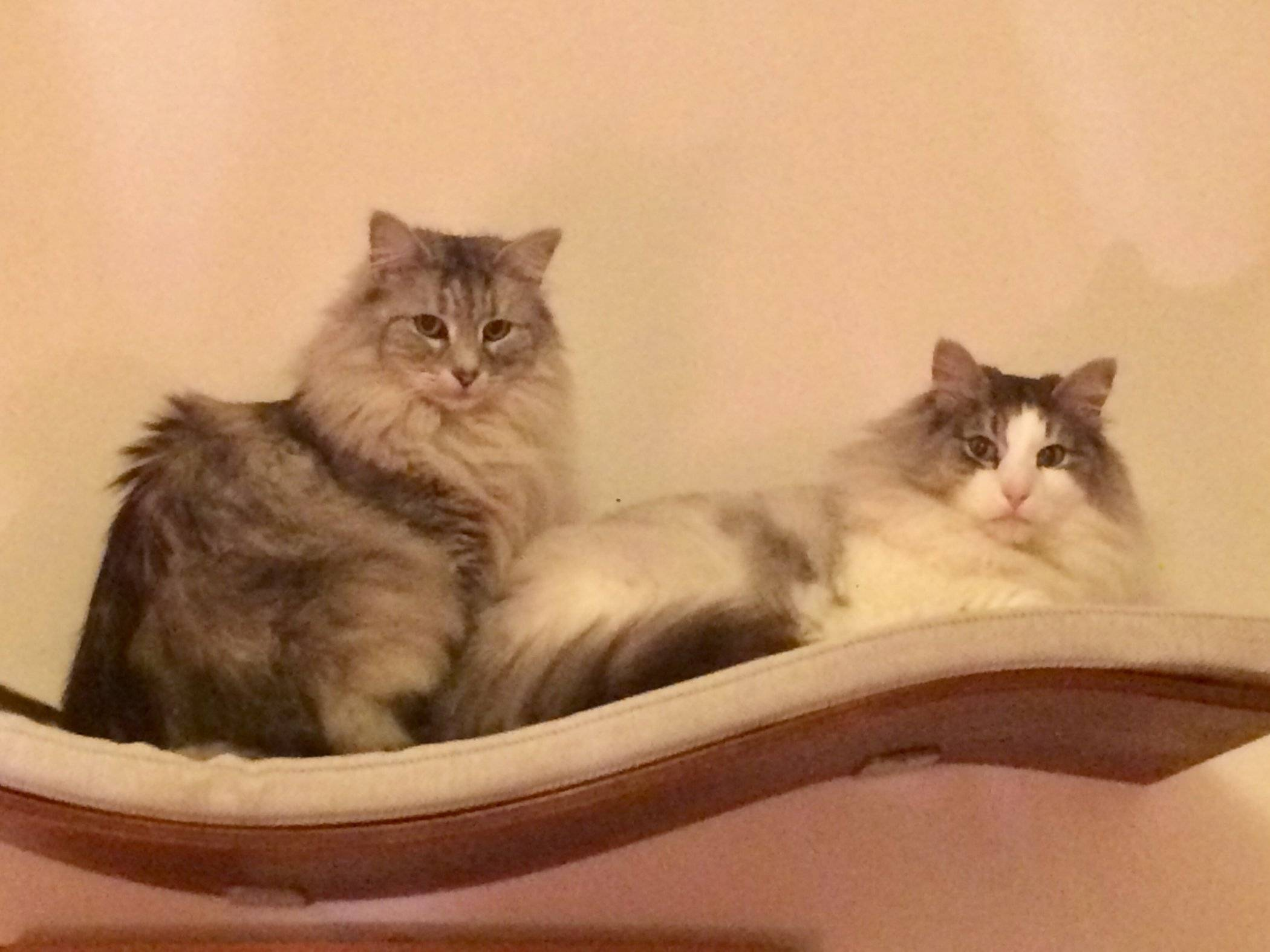 review of cosy and dozy chill deluxe cat wall shelf by anita kelsey rh katzenworld co uk Cat Furniture cat wall shelves ikea uk