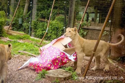 Katzenworld Lion Cubs0007