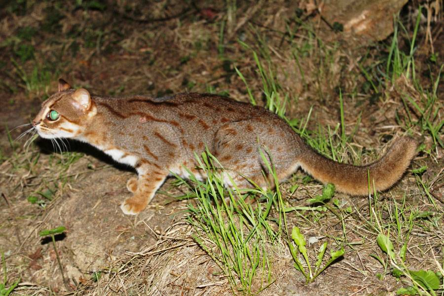 The Smallest Feline in the World – A Rusty-Spotted Cat