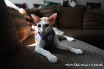 Katzenworld equi-stitch cat harness0006