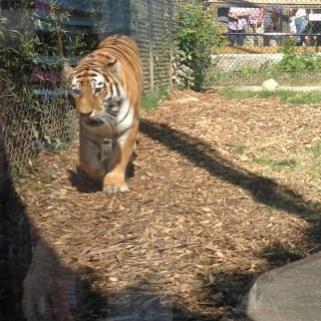 Tigercloseup2