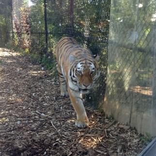 Tigercloseup3