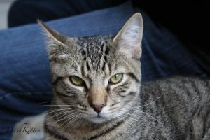Tigger a tabby cat portrait