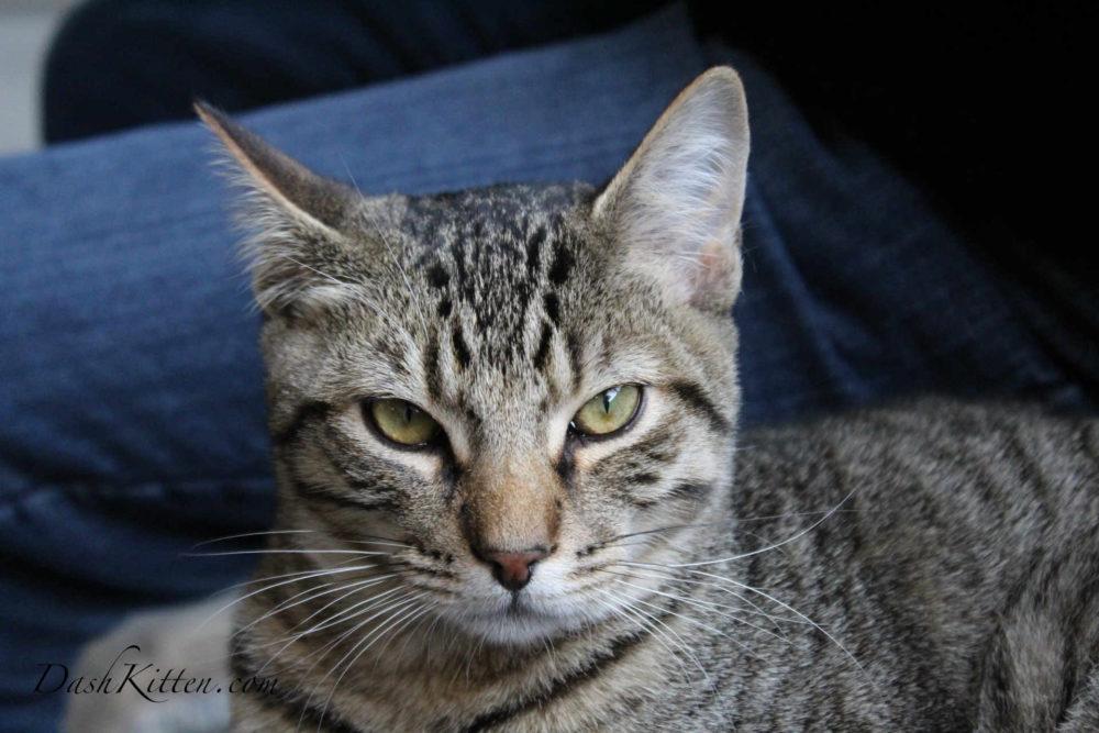 Tigger a tabby cat portrait