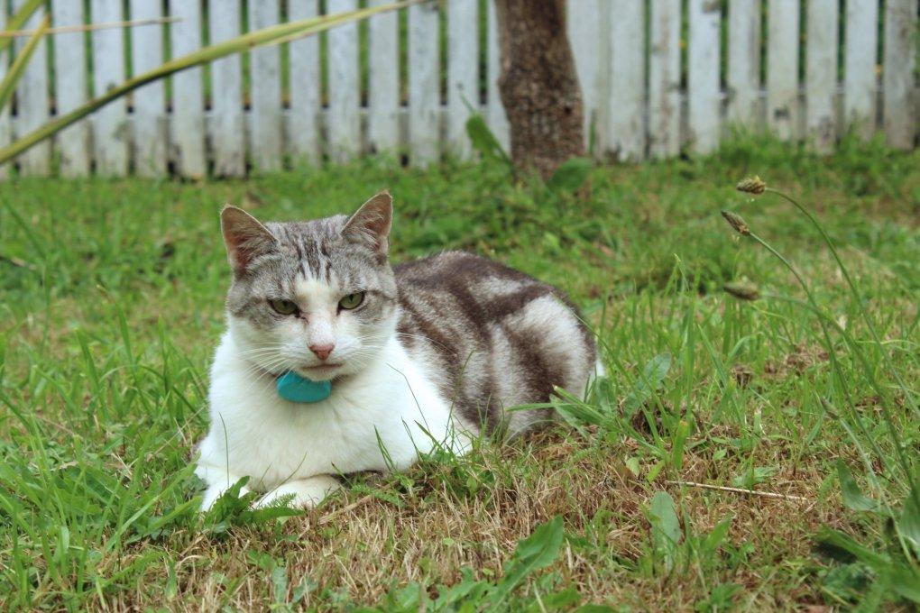Silver tabby cat posing in a garden.