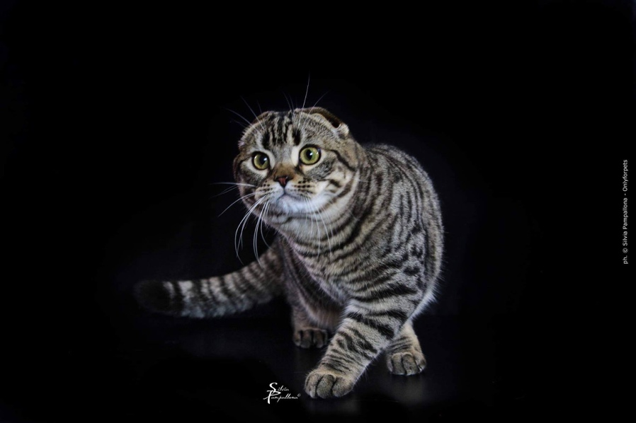 A picture containing cat, mammal, black, striped Description automatically generated