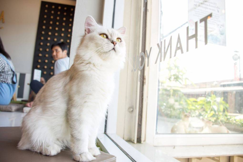 Cat In Cafe Looking Out