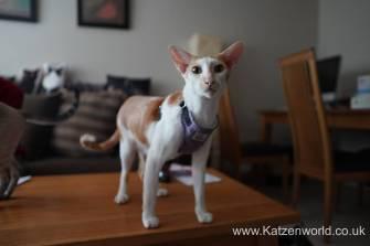 Katzenworld equi-stitch cat harness0012