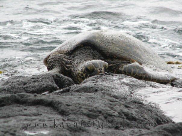 Turtle Watching On Kaua 39 I 39 S South Shores Kauai With Keiki