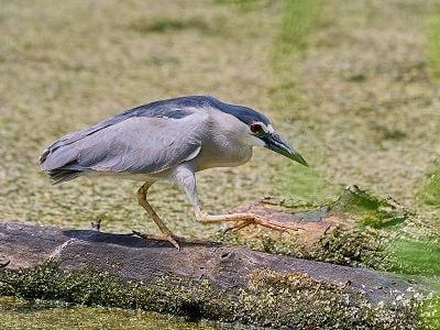 See 'Black-crowned night heron (photo 2)'